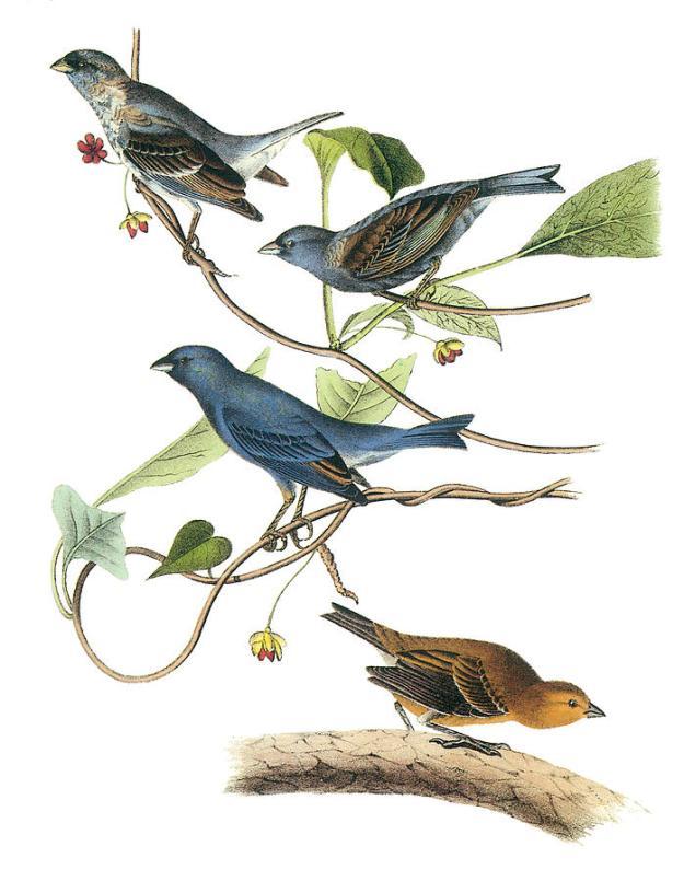 indigo-bunting-john-james-audubon