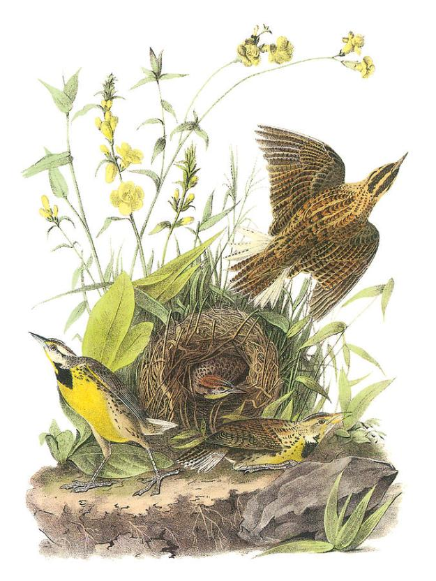 eastern-meadowlark-john-james-audubon-