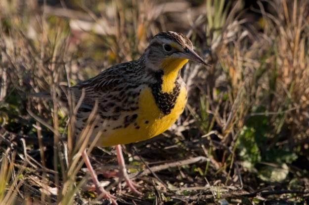 Meadowlark-USFWS