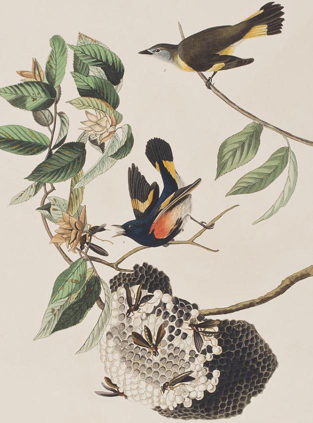 1-american-redstart-john-james-audubon