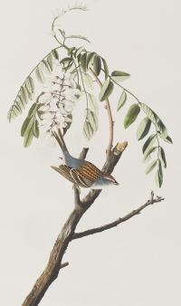 Chipping-sparrow-john-james-audubon
