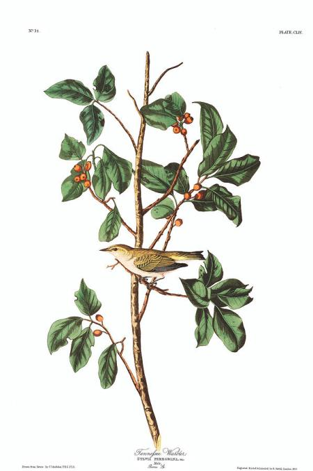 2-tennessee-warbler-john-james-audubon