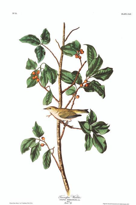 2-tennessee-warbler-john-james-audubon
