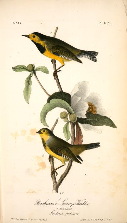 John-James-Audubon-Bachman_s-Swamp-Warbler.-1.-Male.-2.-Female.-Gordonia-pubescens.- (1)