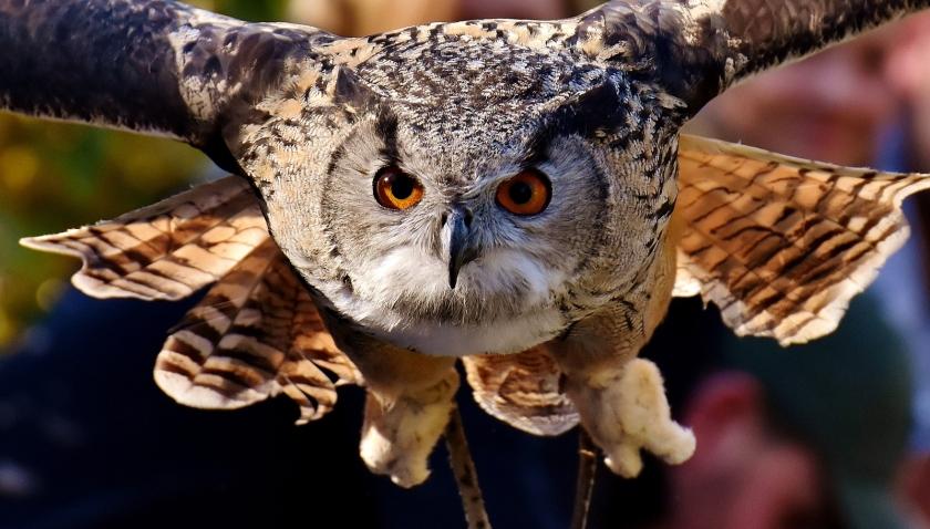 owl-Alexas-Fotos-Pixabay