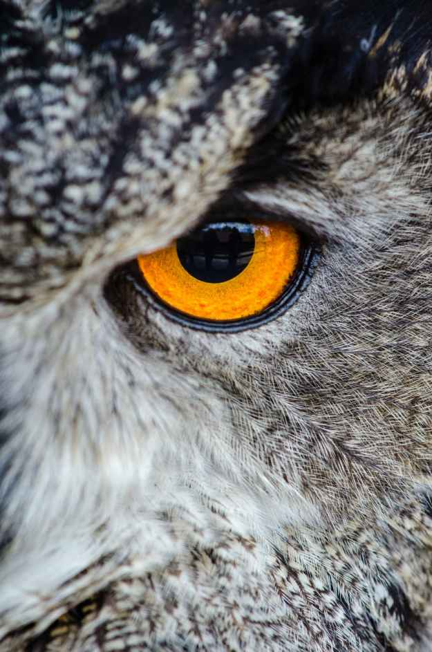 gray owl showing orange and black left eye