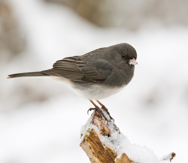 dark-eyed-junco-Skeeze-Pixabay