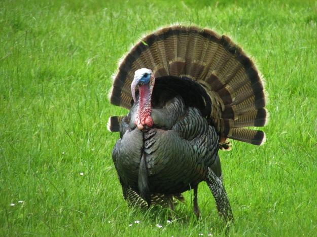 wild-turkey-Avia5-Pixabay
