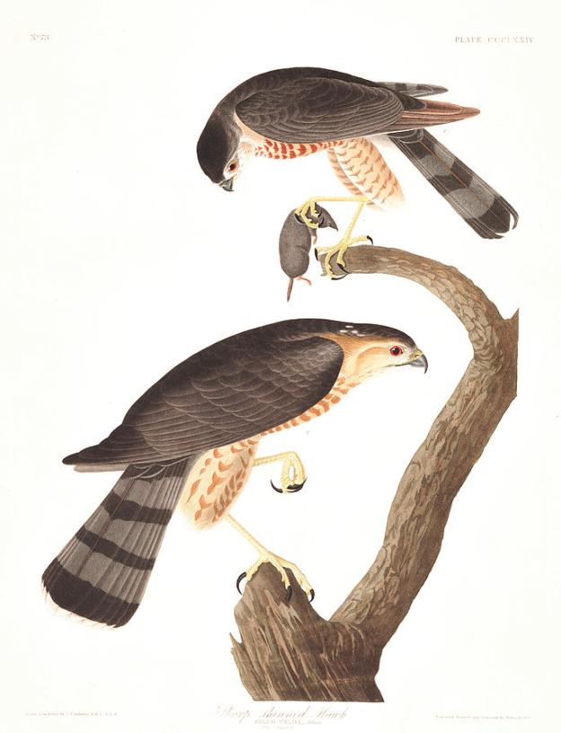 1-sharp-shinned-hawk-john-james-audubon