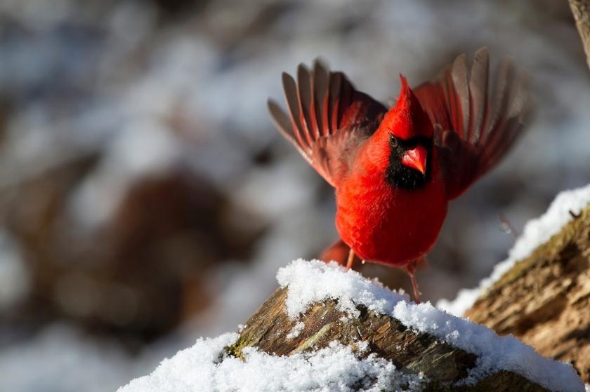 northern-cardinal-938377_1920