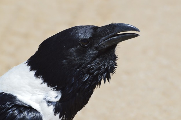 Pied-crow-LimaGolf