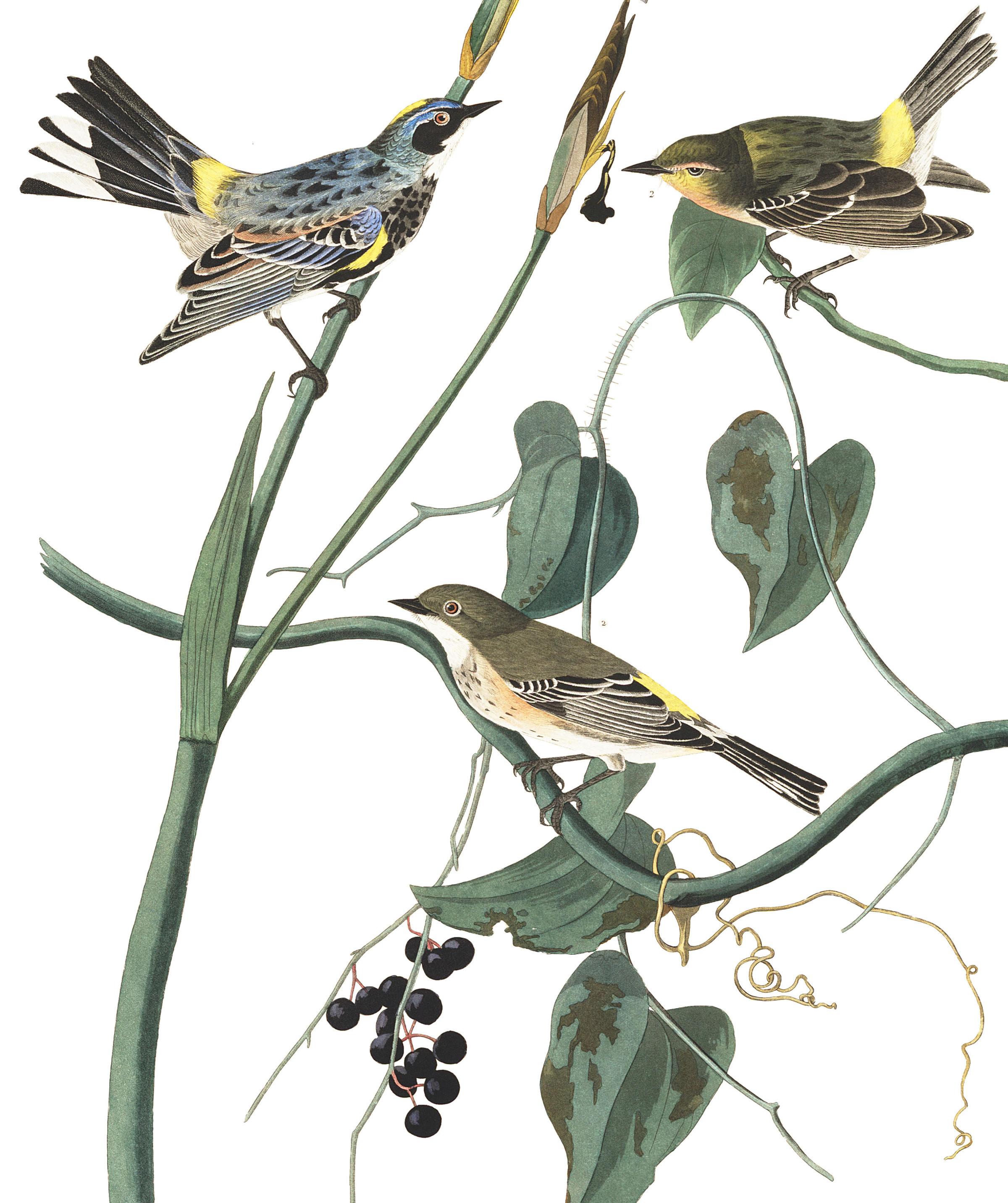plate-153-yellow-rump-warbler-final