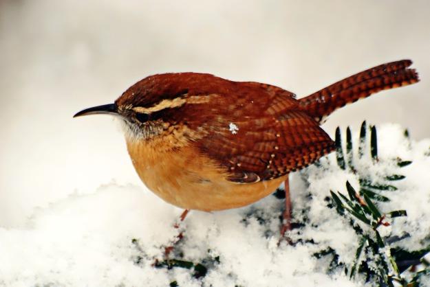 carolinawren-snow