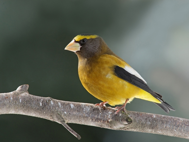 Evening_Grosbeak_Ted_Schroeder_OR09