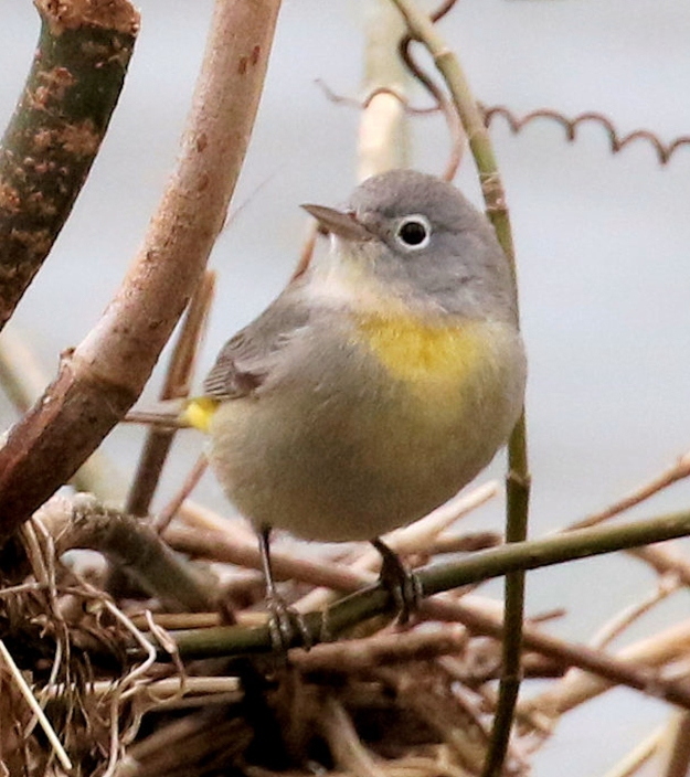 Virginia'sWarbler-ONE