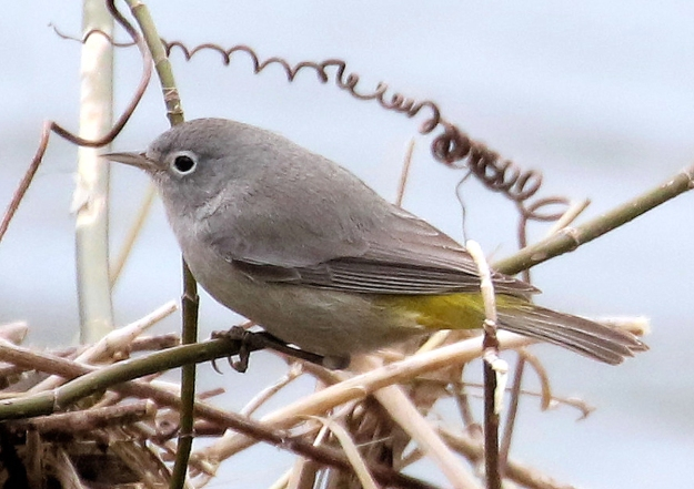 Virginia'sWarbler-TWO