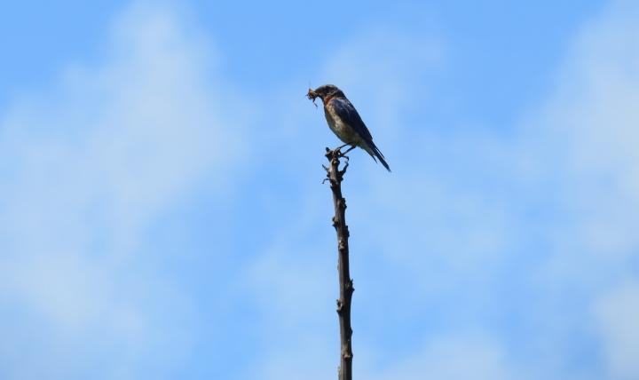 Bluebird-BeakFull