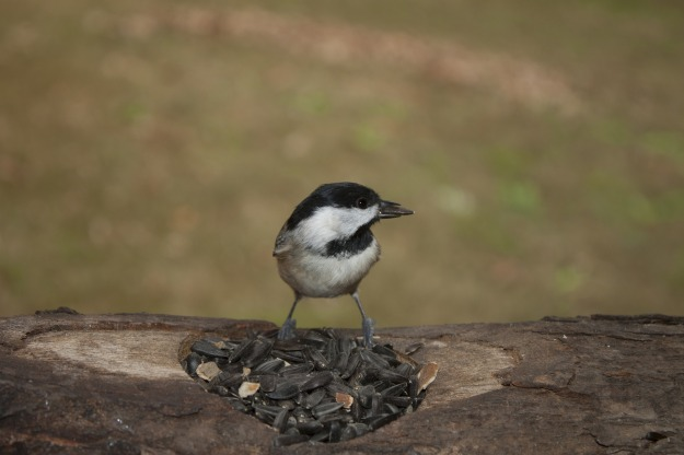 carolina-chickadee-2501531_1920