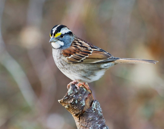 white-throated-sparrow-942064_1920 (1)