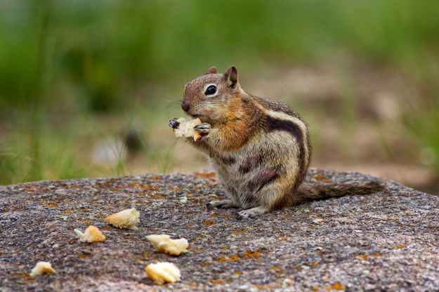 photography of brown chipmunk eating on top of rock