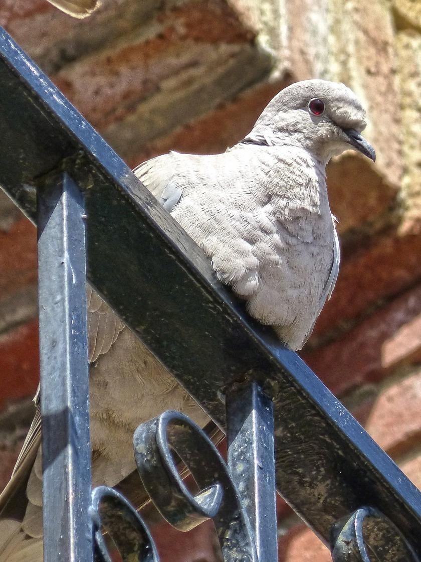turtledove-1275164_1920