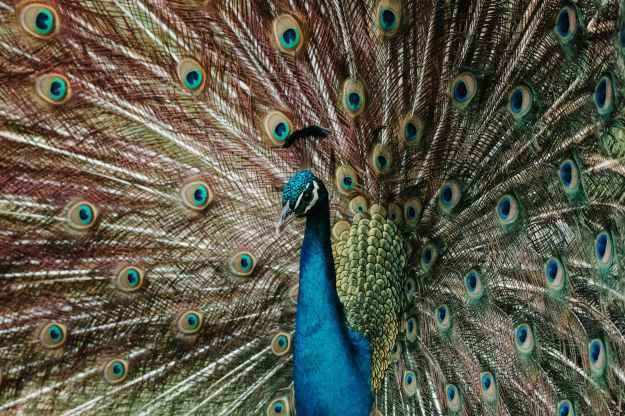 blue and multicolored peacock
